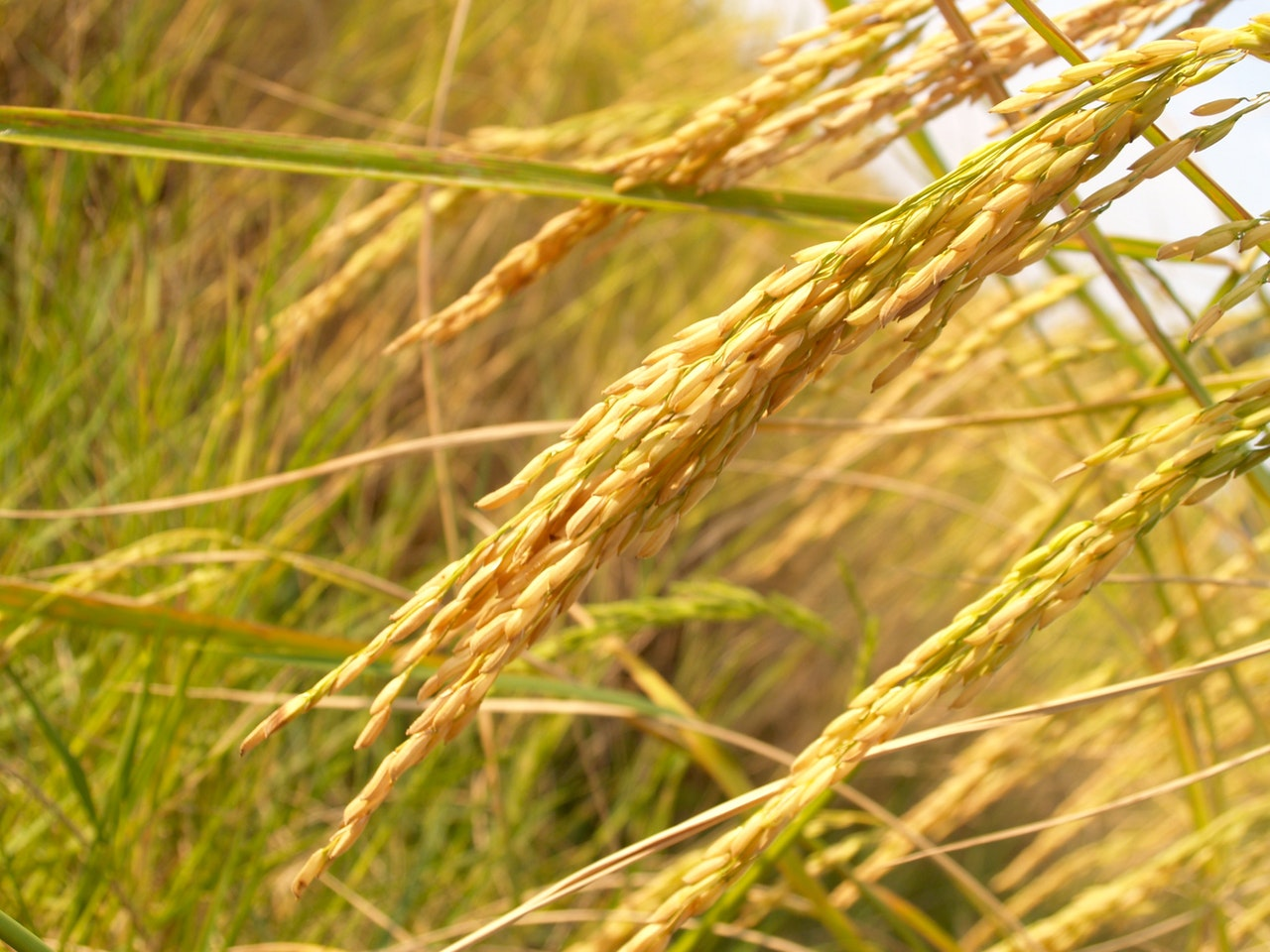 Rice Suppliers In Nigeria: Rice Sellers & Buyers - Globexia